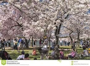 cherry blossom festival dc the cherry blossom festival in washington dc editorial