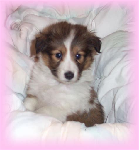 pictures of sheltie puppies sheltie puppy breeds picture