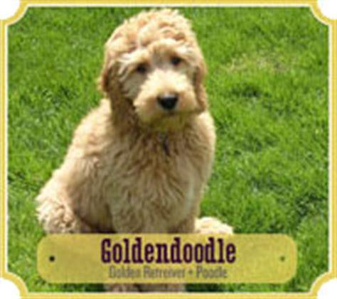 goldendoodle puppy kopen golden doodle kruising golden retriever x poedel