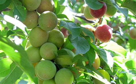 maryland fruit trees buy fig trees from stark bro s fig trees for sale