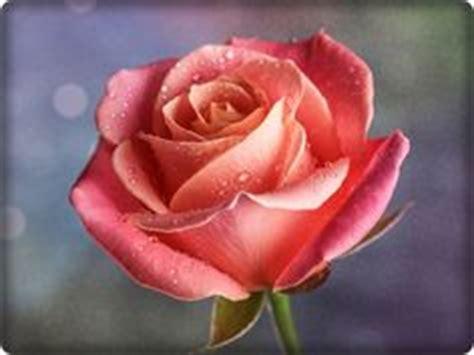 imagenes rosas brillantes imagenes de mariposas brillantes busquedas relacionadas