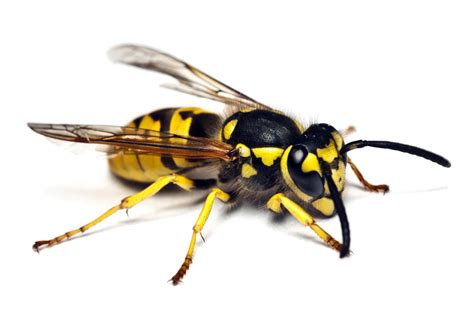 bees wasps and ants and other stinging insects classic reprint books paper wasp pest services stop bugging me pest