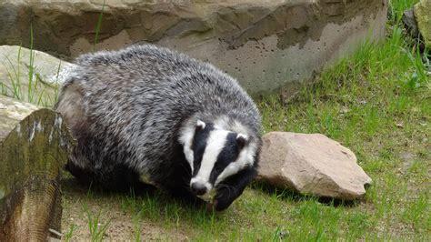 badger belfasthills org