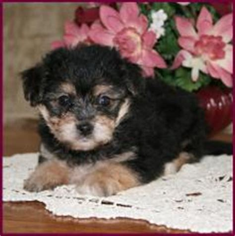 yorkie chon adults yorkie bichon description bichon yorkie pictures yochon description