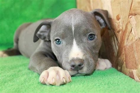 free blue nose pitbull puppies blue nose pitbull puppy dogs blue nose pitbull puppies blue nose