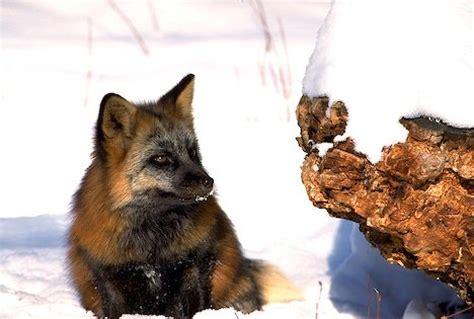 Pet Cross Fox Pendek bwca cross fox den in backyard boundary waters listening point general discussion