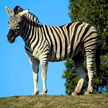 damara zebra weneedfun