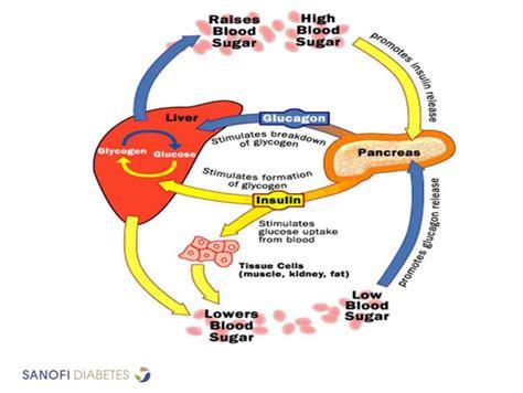 insulin and glucose diagram diagram of pancreas insulin and glucose diagram free