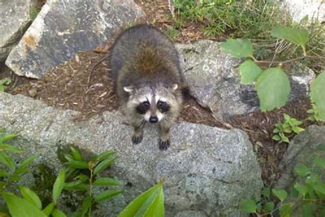 how to get rid of a raccoon in your backyard how much does it cost to get rid of a raccoon home