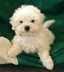 Maltese puppies for sale new jersey puppies for sale breeders club