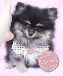 pomeranian puppies for sale in south florida pomeranian puppy for sale things i wanna do teacup pomeranian puppy