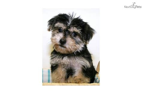 pictures of teacup yorkie poo puppies teacup yorkie poo puppies for sale breeds picture