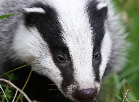 badger cull petition petition uk environment minister andrea leadsom listen to