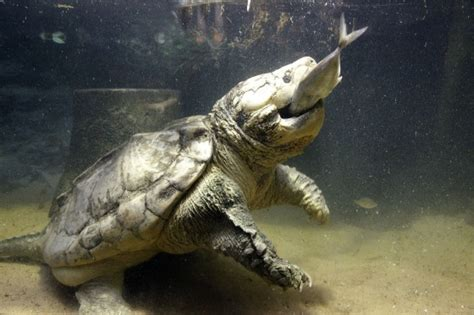 alligator snapping turtle reptile fact