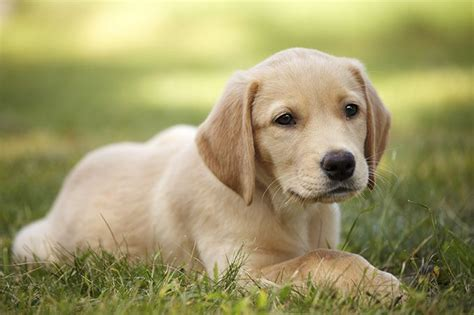 chihuahua cross golden retriever best 25 doge breed ideas on dogs of the world breeds chart and