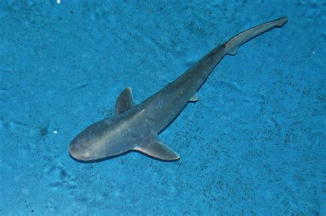 baby shark national aquarium sandbar shark pup born at national