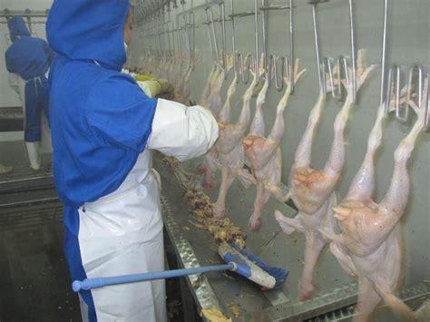 backyard chicken processing 14 best chicken processing equipment chicken evisceration
