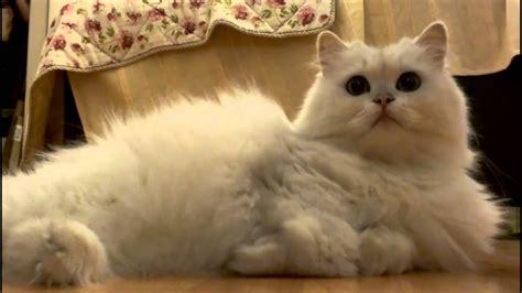 white fluffy white fluffy cat chilling