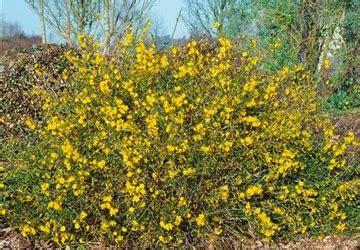 ersatz buchsbaum ersatz f 252 r buchsbaum buchsbaum blauer heinz buxus