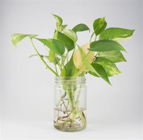 how to in water how to propagte pothos in the water and soil sumo gardener