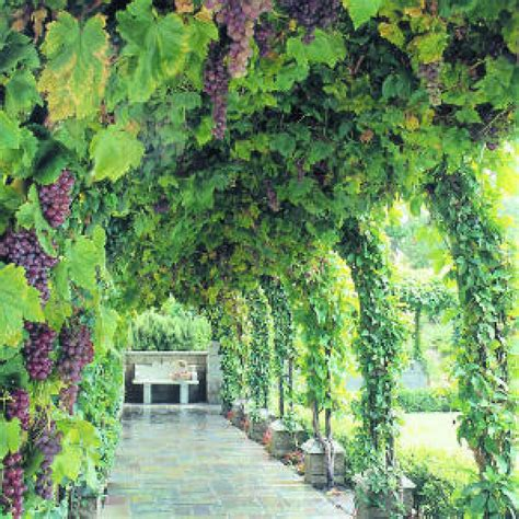 Grow Your Own Grape Vines by Indoor Outdoor Grow Your Own 4 X Grape Vine Collection