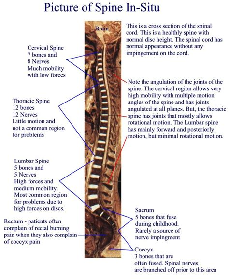 diagram of human spine human spine anatomy diagram anatomy list