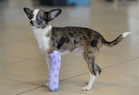 dogs with legs how to treat a with broken leg fidoactive