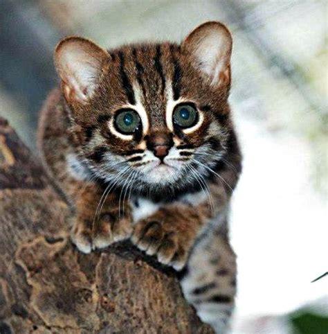 rare rusty spotted cat kittens born in berlin scientific