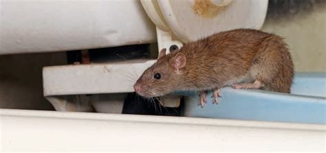 6 signs of rodents to watch for in kelowna building pro