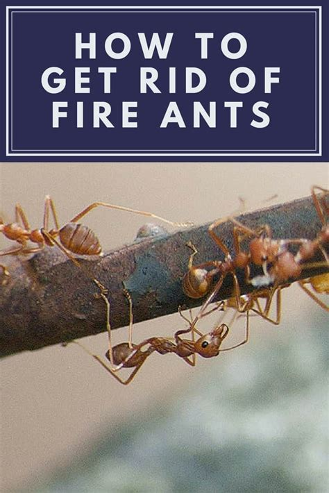 get rid of house ants how to get rid of fire ants learn to kill fire ants