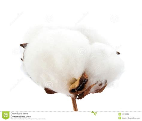 cotton royalty  stock image image