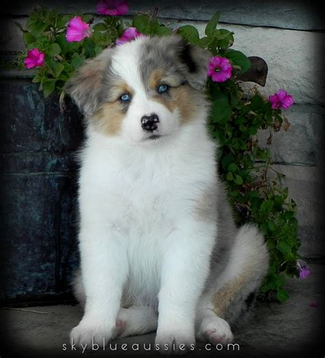 aussie puppies for sale in sky blue aussies aussie puppies for sale