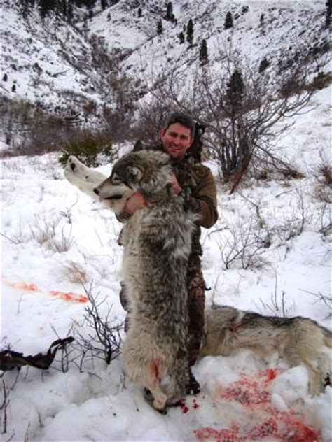 Bicycle And Square Wolvis two thirds of idaho wolf carcasses examined thousands