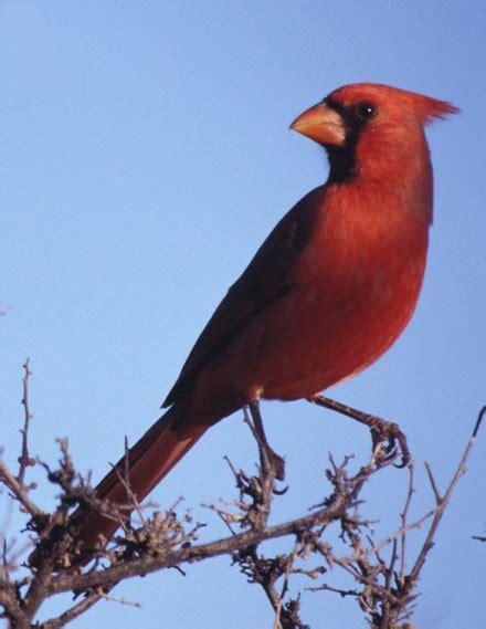 state bird of north carolina an adult male cardinal north carolina state bird