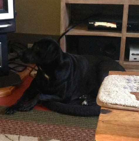 why does my dog sleep under the bed black lab sleeping by bed dog breeds picture