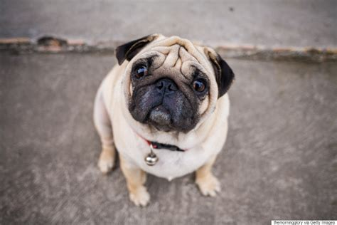 pug breathing problems vets ask potential owners to not buy flat faced breeds