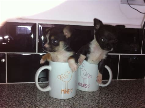 free teacup chihuahua puppies 404 page not found
