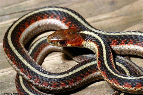 snake pattern red black yellow pin florida venomous snakes poisonous snake pictures on