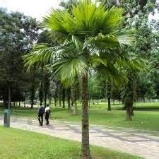 Jual Bibit Rumput Gajah Mini Jogja harga palem sadeng di jogja jual rumput gajah mini