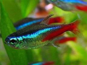 amazing fresh water fish neon tetra