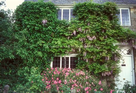 climbing plants for front of house wisteria cistus flowering in house plant