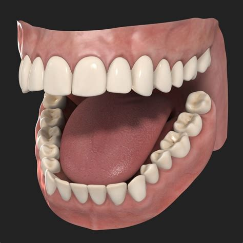 A Tooth For A Tooth 3d human teeth model