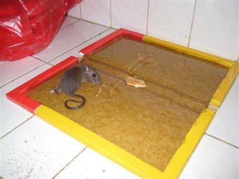 cara membuat jebakan tikus di dalam rumah ini lho caranya cara menangkap tikus