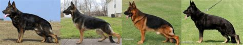 types of german shepherds german shepherd types german shepherd guide
