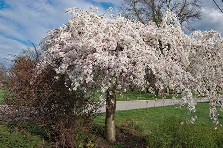 cherry tree care weeping cherry tree care and pest doityourself