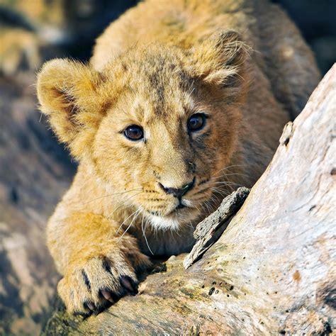 freeios lion cub parallax hd iphone ipad wallpaper