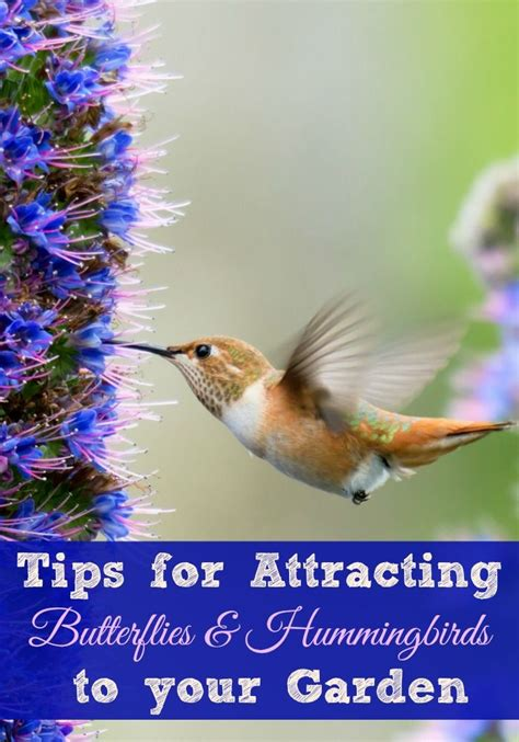 hummingbird feeding on pride of madeira flowers how to