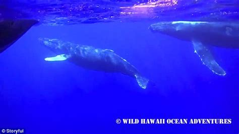 boat engine making clicking sound video footage in hawaii captures a pod of humpback whales