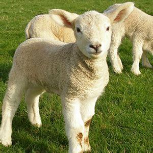 sheep ridley