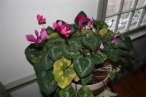 cura dei ciclamini in vaso ciclamino foglie gialle malattie piante appartamento